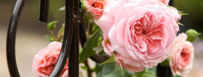 rosen hecken